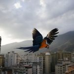 http://static3.businessinsider.com/image/55391d125afbd3310f8b4567-480/a-macaw-flies-over-buildings-with-the-avila-mountain-behind-in-caracas-march-31-2015reutersjorge-silva.jpg