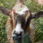 http://cdn.phys.org/newman/gfx/news/hires/goatsilk.jpg