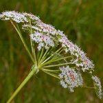 http://www.interhomeopathy.org/assets/images/001674/Apiaceae.JPG