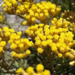 https://lightofayurveda.files.wordpress.com/2012/03/helichrysum2.jpg