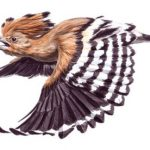 https://static-secure.guim.co.uk/sys-images/Admin/BkFill/Default_image_group/2012/11/19/1353336469454/Hoopoe-for-November-Birdw-008.jpg