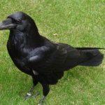 https://nightingales.files.wordpress.com/2010/11/raven_tower_wikimedia.jpg