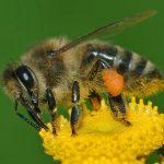 https://upload.wikimedia.org/wikipedia/commons/thumb/4/4d/Apis_mellifera_Western_honey_bee.jpg/600px-Apis_mellifera_Western_honey_bee.jpg