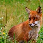 http://www.welcomewildlife.com/wp-content/uploads/2015/01/Red-fox-2-e1452311124162.jpg
