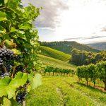 https://www.ekapija.com/thumbs/grozdje_vinograd_toskana_italija_131216_tw1024.jpg