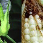 https://www.gmwatch.org/images/banners/Corn_bollworm_corn_earworm_1200x600.jpg