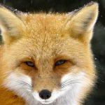 http://img.src.ca/2017/03/24/635x357/170324_y45bw_rci-fox-face_sn635.jpg