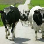 https://static.pressfrom.info/upload/images/real/2019/02/04/poland-says-no-sick-cows-slaughtered-eu-begins-inspection__590520_.jpg?content=1