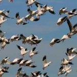 https://www.birdlife.org/sites/default/files/styles/full_1140x550/public/Sonw-geese-Ken-slade-flickr.jpg?itok=5COr8hXm