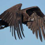 https://images.immediate.co.uk/production/volatile/sites/4/2018/08/black-vulture-43f3493.jpg?quality=90&resize=620,413