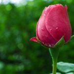 https://s2.best-wallpaper.net/wallpaper/1280x1024/1704/Pink-rose-flower-bud-water-drops_1280x1024.jpg
