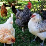Slikovni rezultat za hens and roosters in parliament