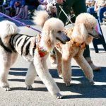 https://poodlereport.com/wp-content/uploads/2019/10/Canva-Poodle-Parade-1024x952.jpg