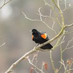 https://www.vpr.org/sites/vpr/files/styles/x_large/public/201904/red-winged-blackbird-flickr-putneypics-20190404.jpg