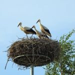 https://thumbs.dreamstime.com/b/young-stork-birds-nest-lithuania-beautiful-young-birds-nest-summer-121570957.jpg