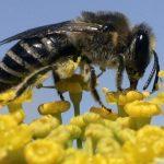 https://cms.qz.com/wp-content/uploads/2015/05/honeybees-wild-bees-pesticides-ban-varroa.jpg?quality=75&strip=all&w=1600&h=900&crop=1
